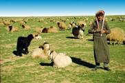 badia sheep bedouin
